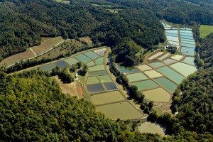 Patrick County, our flagship production facility. Once a cabbage farm, over 20 years this land has transformed into a state-of-the-art koi farm, with 64 ponds and over 50 surface acres of water.