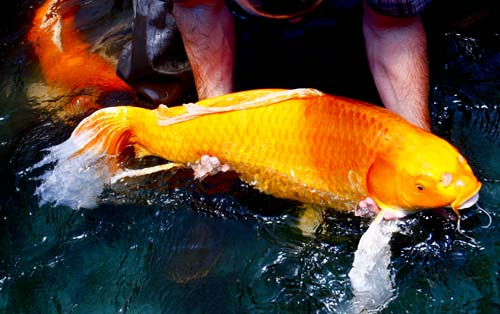 Archives for may 2012 blue ridge fish hatchery for Koi fish size