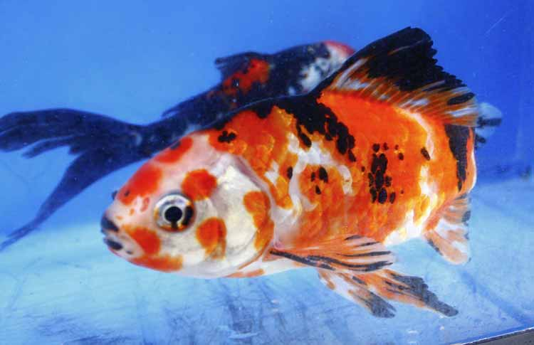 Imported chinese shubunkin for sale blue ridge fish hatchery for Shubunki fische
