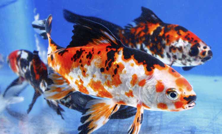 Imported chinese shubunkin for sale blue ridge fish hatchery for Live koi for sale