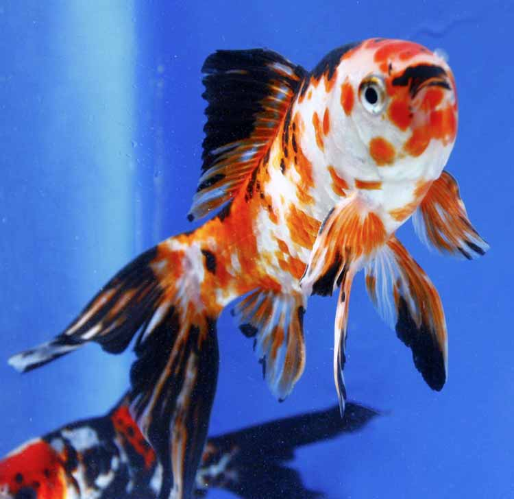 Imported chinese shubunkin for sale blue ridge fish hatchery for Koi goldfish for sale