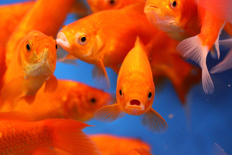 All sizes of red comet goldfish available now blue ridge for What fish can live with goldfish in a pond