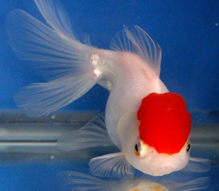 White oranda goldfish - photo#24