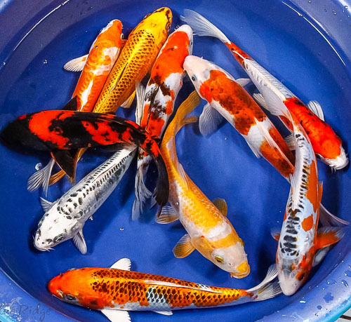 Featured items for week of june 2nd blue ridge fish hatchery for Koi fish dealers