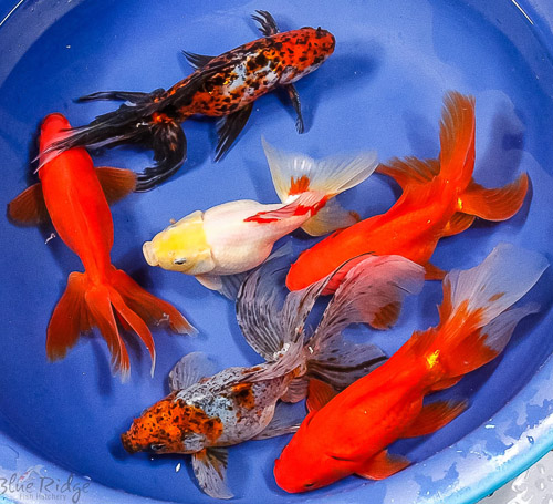 Featured items for week of june 2nd blue ridge fish hatchery for Jumbo koi for sale