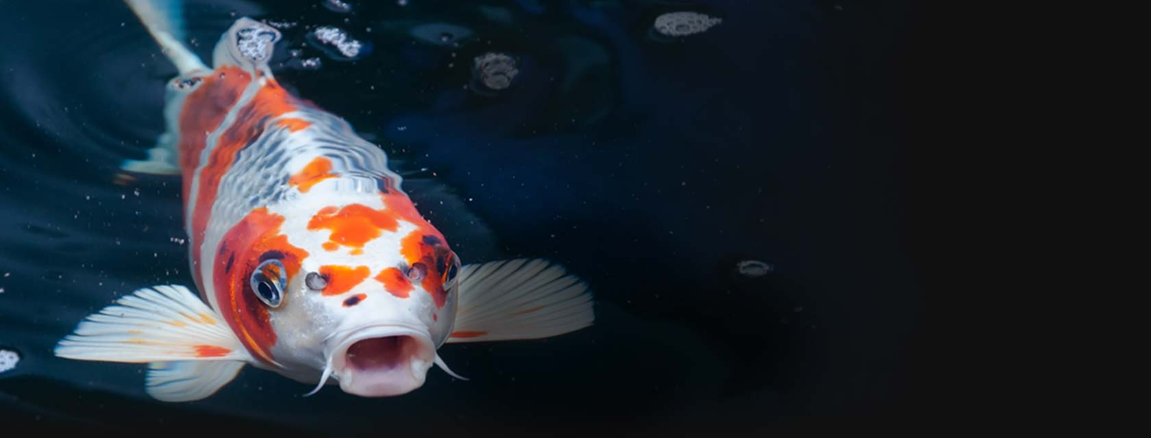 Blue ridge koi goldfish america 39 s largest most for Goldfisch und koi