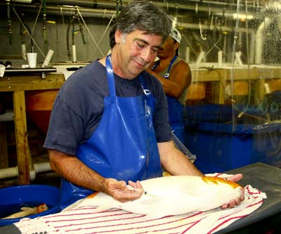 live koi fish brood stock injection