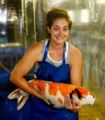 live Showa koi fish breeder