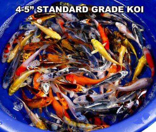 live 4-5 inch standard grade koi fish