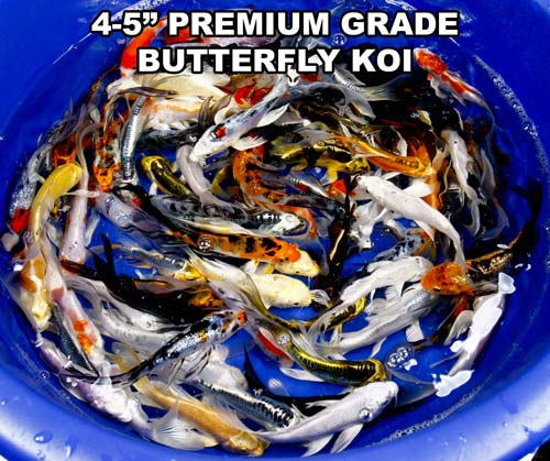 live 4-5 inch premium grade butterfly koi fish