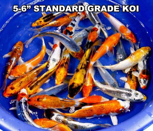 live 5-6 inch standard grade koi fish