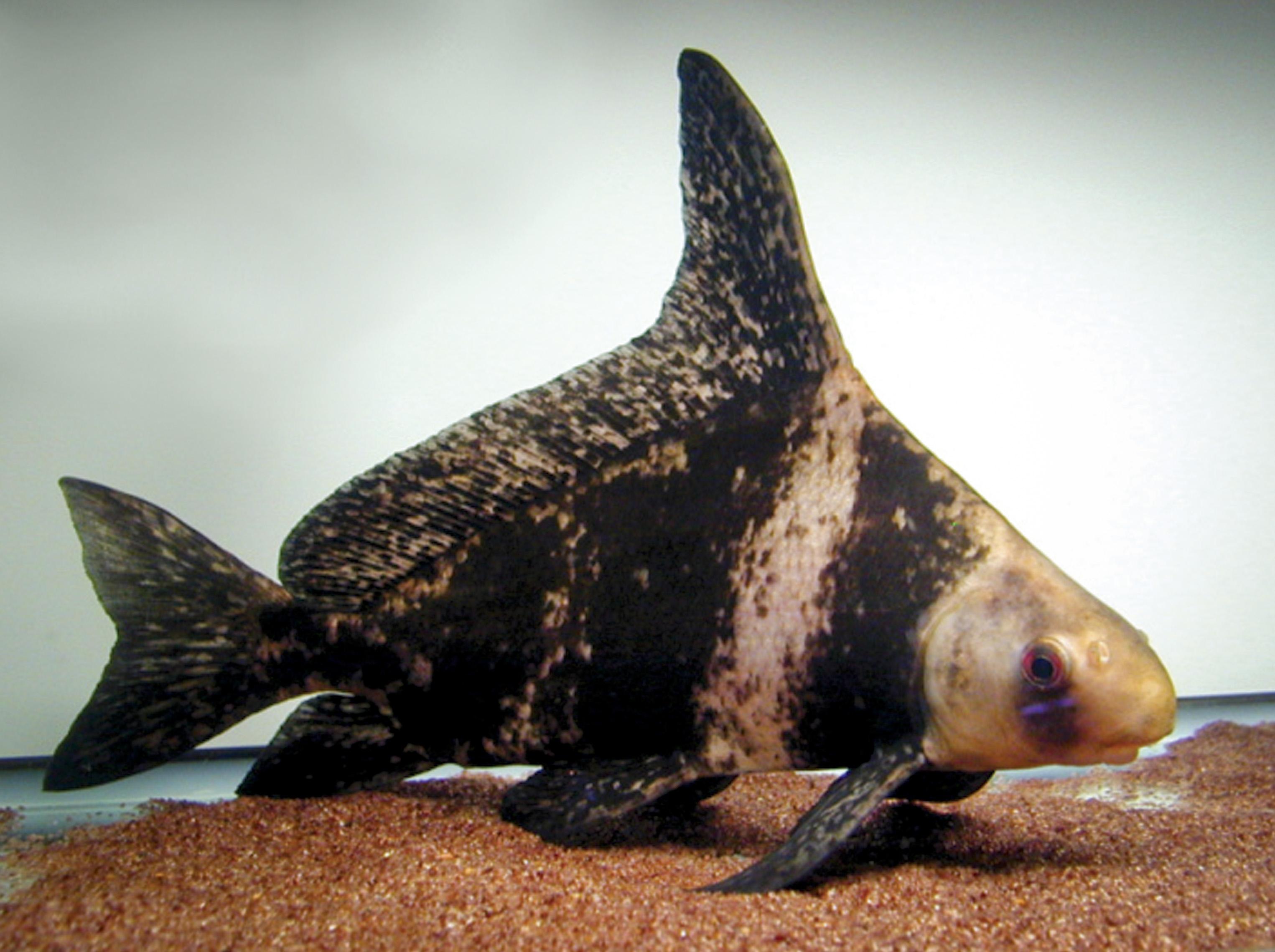 Hi fin banded shark 5 blue ridge fish hatchery for Chinese koi fish for sale