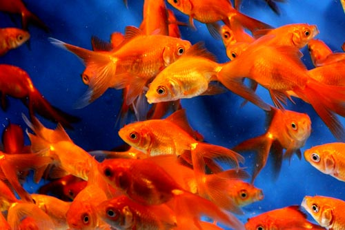 Red Fantails and Calico Fantails For Sale This Winter | Blue Ridge