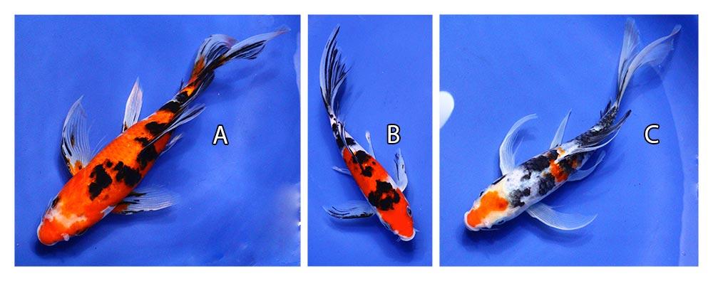three live taisho sanke butterfly koi