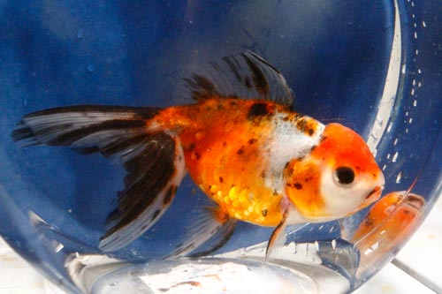 Extended List of Imported Goldfish For Sale | Blue Ridge Fish Hatchery
