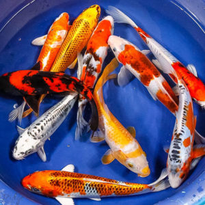 Products for sale blue ridge fish hatchery for Bulk koi fish for sale