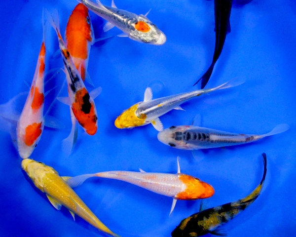 Standard koi 10 12 blue ridge fish hatchery for Cheap koi fish