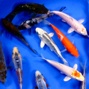 Standard koi for sale blue ridge fish hatchery for Cheap koi carp for sale