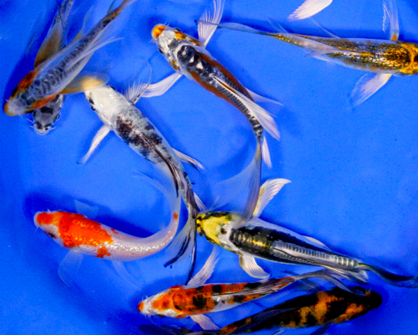 Premium butterfly koi 5 6 blue ridge fish hatchery for Bulk koi fish for sale