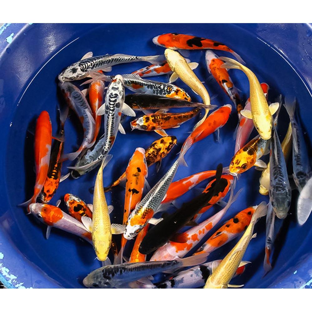 Premium koi 5 6 blue ridge fish hatchery for Blue ridge fish hatchery