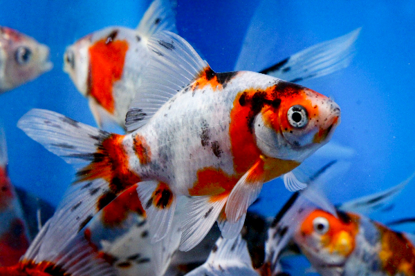 Shubunkin 4 5 blue ridge fish hatchery for Bulk koi fish for sale