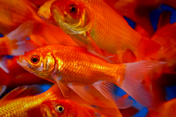 Red comet 6 8 blue ridge fish hatchery for Bulk koi for sale