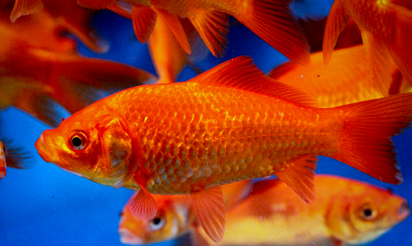 Red comet goldfish - photo#39