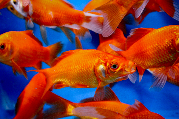 Red comet 5 6 blue ridge fish hatchery for Bulk koi for sale