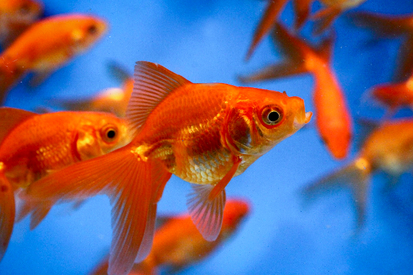 Red fantail 5 6 blue ridge fish hatchery for Bulk koi fish for sale