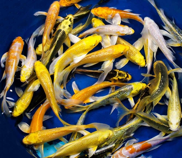 Hikari metallic butterfly koi 3 4 blue ridge fish for Cheap koi carp for sale
