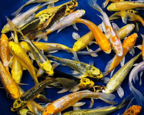 Hikari metallic butterfly koi 5 6 blue ridge fish for Bulk koi fish for sale