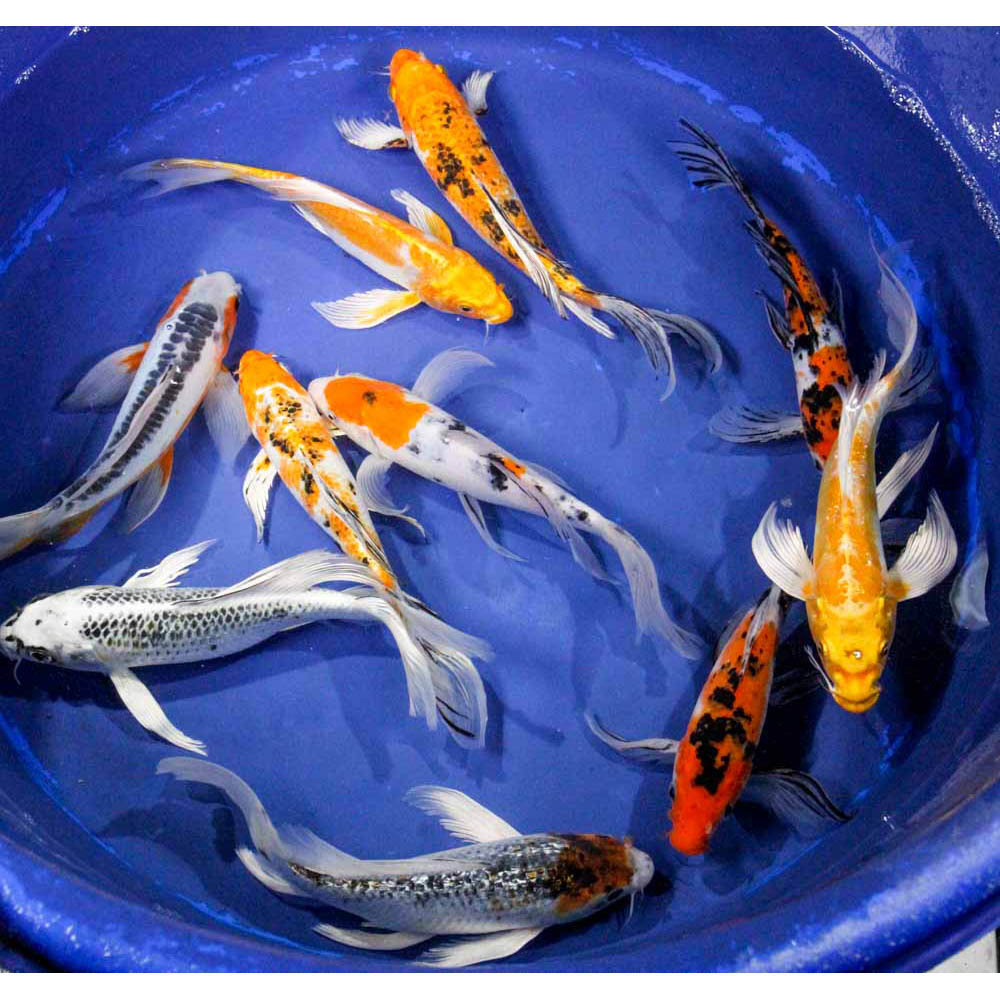 Standard butterfly koi 8 10 blue ridge fish hatchery for Koi fish hatchery