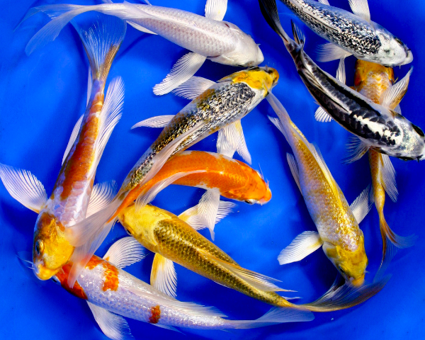 Premium select butterfly koi 8 10 blue ridge fish hatchery for Cheap koi fish