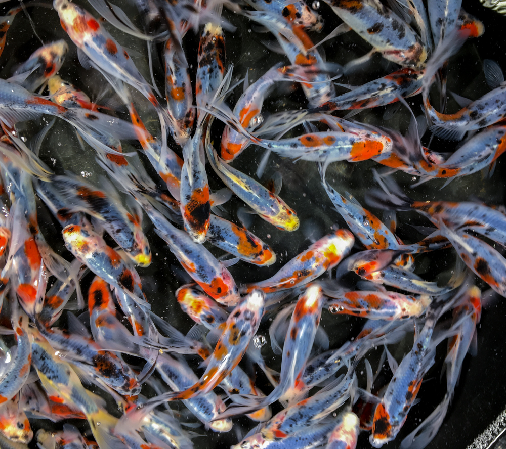 Blue cobalt shubunkin 4 5 blue ridge fish hatchery for Bulk koi fish for sale