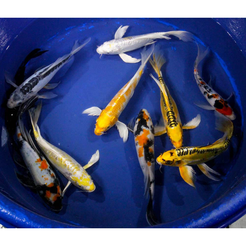 Premium butterfly koi 8 10 blue ridge fish hatchery for Koi fish hatchery