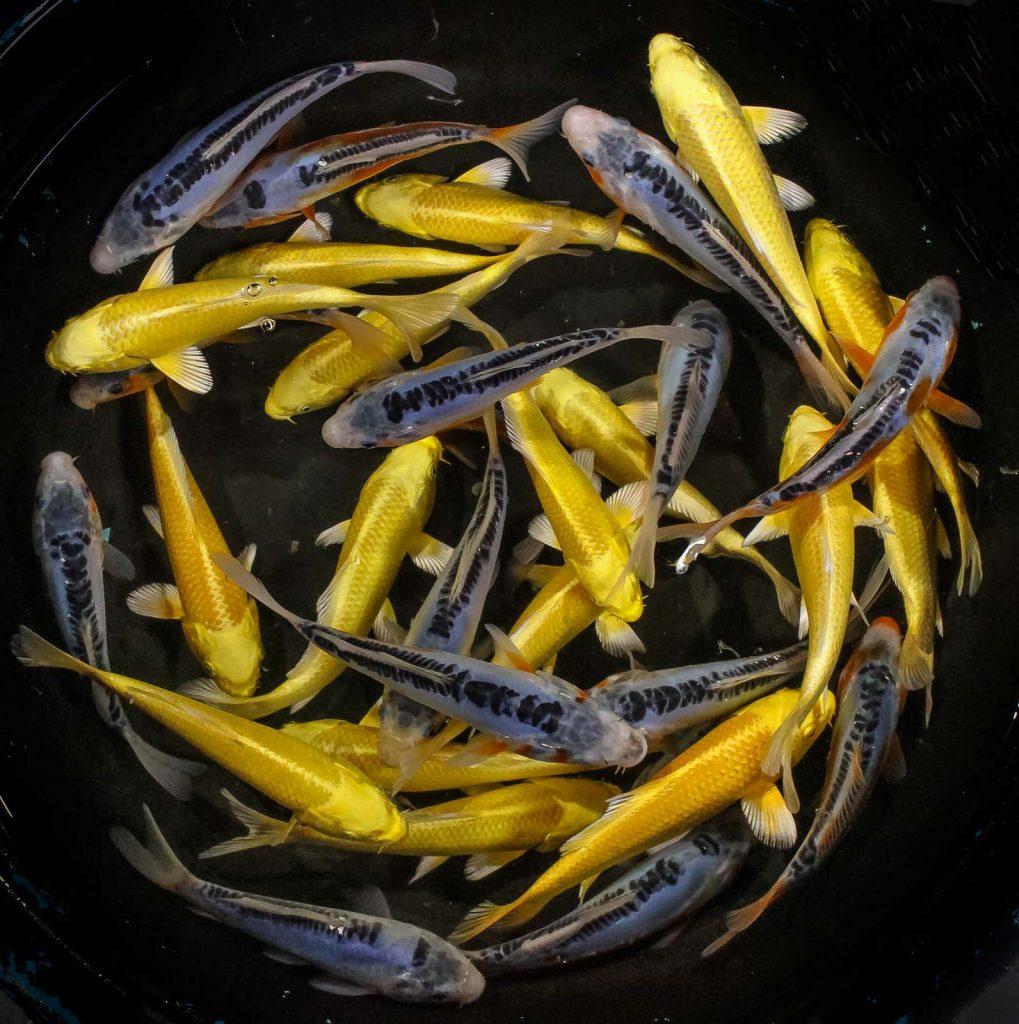 Featured fish week of april 16th blue ridge fish hatchery for Blue ridge fish hatchery